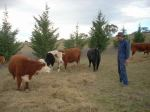 A group of miniature cattle with Chris.